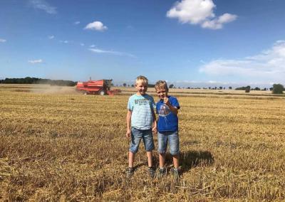 Weizenernte auf dem Bauernhof Claussen auf der Insel Fehmarn an der Ostsee.