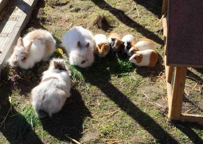 Kaninchen und Meerschweinchen beim fressen
