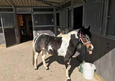 Das Pony Sally streckt die Zunge raus!