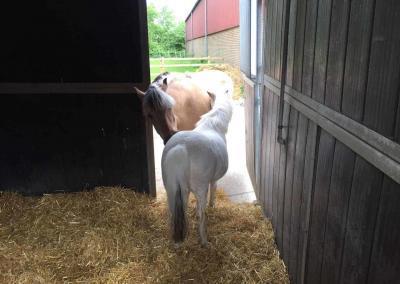 Die Ponys Larvik und Sternchen im Pferdestall