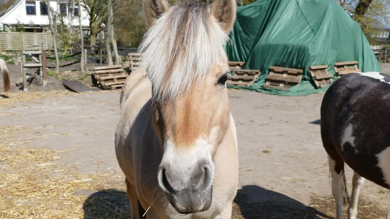 Reiten auf Fehmarn Pony Lady